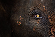 Yellow Eyes Posters - Eye Of Thai Elephant Poster by presented by Zolashine