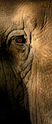 Elephant Photos - Eye of the Elephant by Greg and Chrystal Mimbs