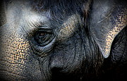 Australia Photographs Photos - Eye of the Elephant by Tam Graff