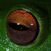 Tree Frog Prints - Eye Of The Frog Print by Bruce J Robinson