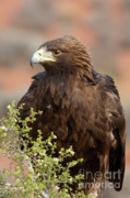 Golden Eagle Photos - Eye of the Golden Eagle by Sandra Bronstein