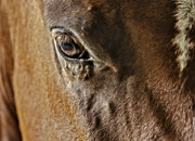 Quarter Horses Framed Prints - Eye Of The Horse Framed Print by Susan Candelario