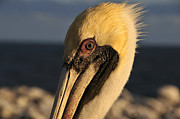Florida Wildlife Photography Posters - Eye of the Pelican Poster by David Lee Thompson