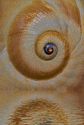 Sea Shell Art Posters - Eye of the Snail Poster by Susan Candelario