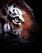 Animals Art Posters - Eye of the Tiger 2 Poster by Animals Art