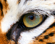 Helen Stapleton Art - Eye of the Tiger by Helen Stapleton