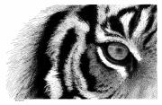 The Tiger Drawings - Eye of the Tiger by Scott Woyak