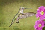 Hummingbird And Petunias Prints - Eye on the Prize Print by Bonnie Barry