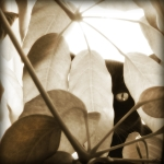 Cat Photo Posters - Eye Spy Poster by Shevon Johnson