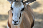 Springbok Framed Prints - Eyeing the Camera Framed Print by Teresa Blanton