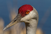 Sandhill Crane Posters - Eyen You Poster by Reflective Moments  Photography and Digital Art Images