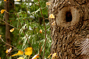Knot Hole Prints - Eyes in the Tree hole Print by LeeAnn McLaneGoetz McLaneGoetzStudioLLCcom