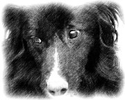 Border Collie Drawing Posters - Eyes Of Expression In Pencil Poster by Smilin Eyes  Treasures