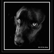 Labradors Digital Art Framed Prints - Eyes Of His Heart Framed Print by Sherri  Of Palm Springs