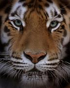 Wild Life Originals - Eyes of The Tiger by Joseph G Holland