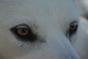 White Wolf Posters - Eyes of the Wolf - In Her Eyes Poster by Robyn Stacey