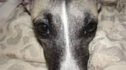 Eyes Whippet Print by Marie-france Quesnel