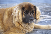 Leonberger Prints - Face of leonberger dog Print by Kathleen Smith