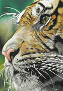 Tiger Pastels - Face of the Hunter by Paul Miners