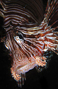 Muck Prints - Face Shot Of A Red Lionfish, North Print by Mathieu Meur