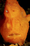 Muck Framed Prints - Face Shot Of An Orange Frogfish, North Framed Print by Mathieu Meur