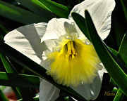 Jonquils Photos - Face the Sun by Nava Jo Thompson