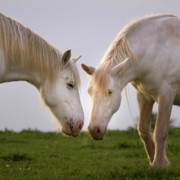 White Unicorn Photos - Face To Face by Angel  Tarantella