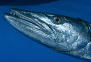 Osteichthyes Photos - Facial View Of A Great Barracuda, Kimbe by Steve Jones