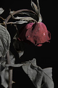 Rose Flower Greeting Cards Photos - Faded Love Wilted Rose on Black by M K  Miller