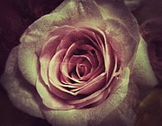 My Space Prints - Faded Rose Print by Angela Wright