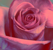 Flower Photographs Prints - Faded Rose Print by Linda Sannuti