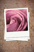 Album Framed Prints - Faded rose photo Framed Print by Jane Rix