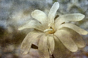 White Bloom Posters - Faded Star Magnolia Poster by Benanne Stiens
