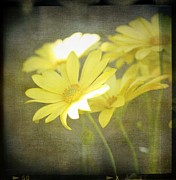 Yellow Flowers Posters - Faded Yellow Poster by Cathie Tyler