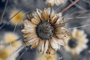 Aster Photos - Fading Oxeye by Wenata Babkowski