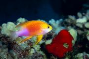 Seafloor Prints - Fairy Anthias Print by Dave Fleetham - Printscapes