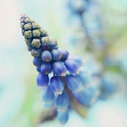 Hyacinth Posters - Fairy Bells Announcing Springtime Poster by Dhmig Photography