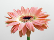 Floral Photos Photos - Faithful Daisy by Juergen Roth