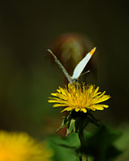Maryland Photos - Falcate Orangetip Butterfly on Dandelion by Rebecca Sherman