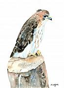 Falcon Framed Prints - Falcon Framed Print by Arline Wagner