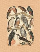 Birds - Falcons by Eric Kempson