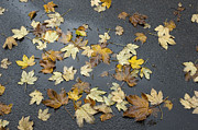 Pavement Prints - Fall - autumn foliage on wet asphalt Print by Matthias Hauser