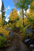 Eastern Sierra Gallery - Fall Aspens in the...