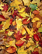 Renewal Posters - Fall  Autumn leaves Poster by Bruce Stanfield
