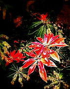 Azalea Bush Photo Prints - Fall Azalea Colors Print by Cindy Wright