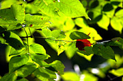Nature Center Pond Prints - Fall Begins with the 1st red leaf Print by LeeAnn McLaneGoetz McLaneGoetzStudioLLCcom