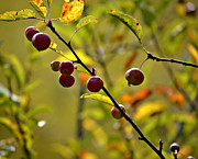 Fall Colors Photos - Fall Berries by Julie Palencia