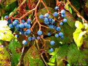 Nature Center Prints - Fall Berries Print by Karen M Scovill