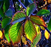 Blackberry Photo Posters - Fall Blackberry Poster by Will Borden