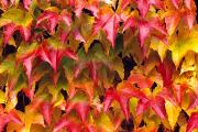 Rita Ariyoshi Prints - Fall Colored Ivy Print by Rita Ariyoshi - Printscapes